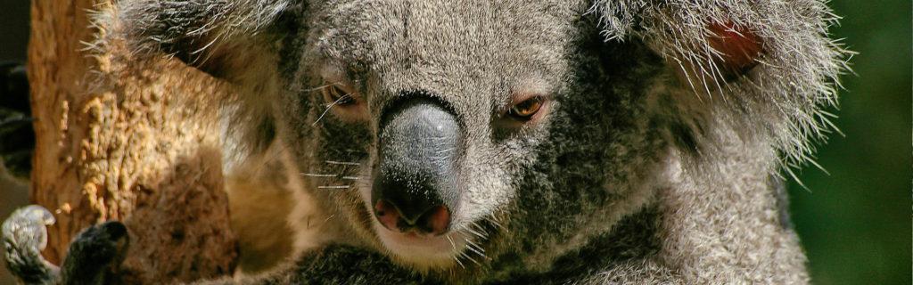 Visit Koala on holidays in Australia